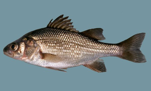 White_Perch_page_image