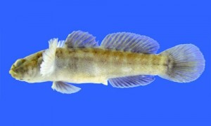 Gobies_page_image